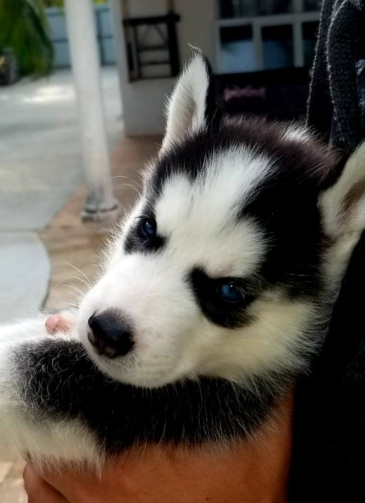 Simba - Male CKC Siberian Husky Puppy from Miami Florida
