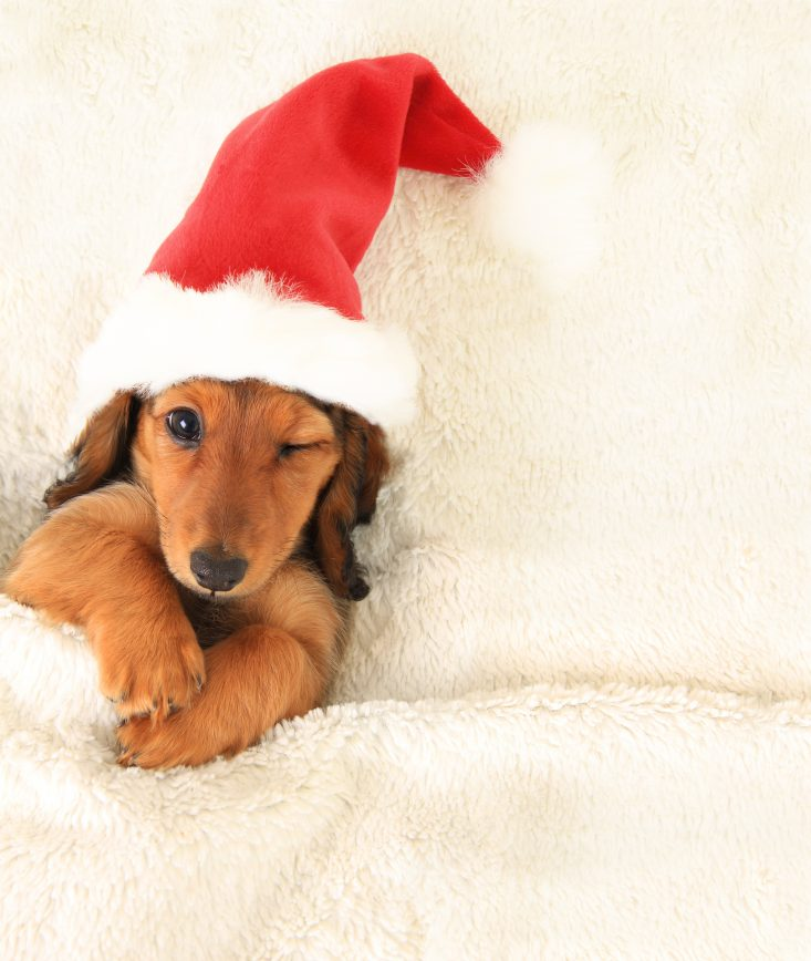 Cute Christmas puppies for sale ready just in time for Xmas!