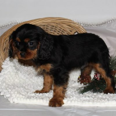 Baxter - A Male AKC Cavalier King Charles Spaniel Puppy in Spencerville, Indiana