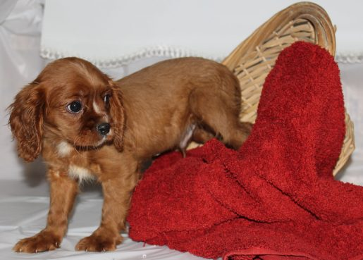 Bentley - A Male AKC Cavalier King Charles in Spencerville, Indiana