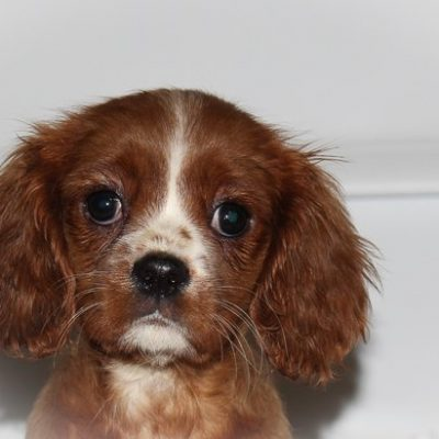 Brinley - A Female AKC Cavalier King Charles Spaniel in Indiana