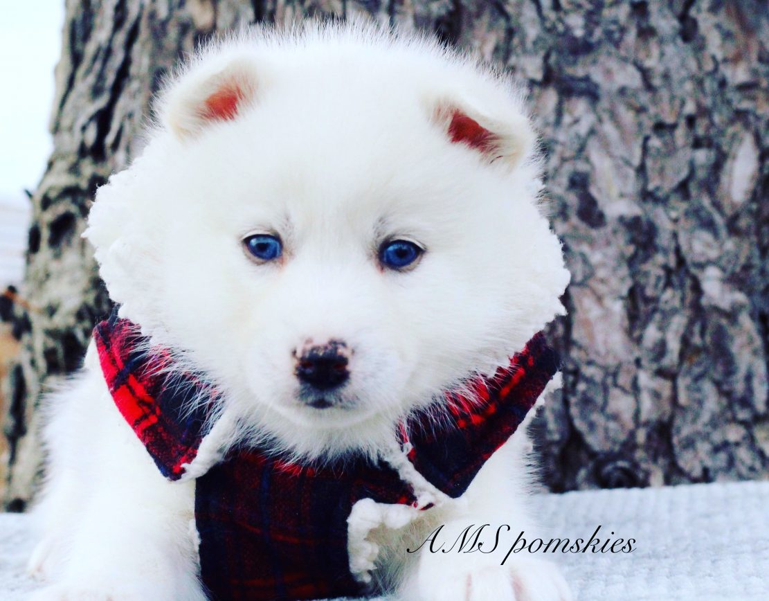 Blizzard - A Sweet Male Pomsky Puppy from Bremen, Indiana