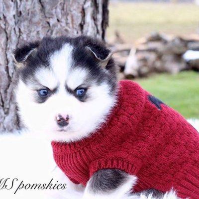 Jack Frost - A Friendly Male Pomsky Puppy from Bremen Indiana