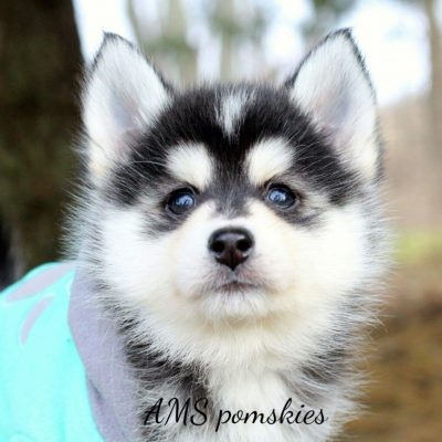 Cypress - A Charming Male Pomsky Puppy from Bremen, Indiana