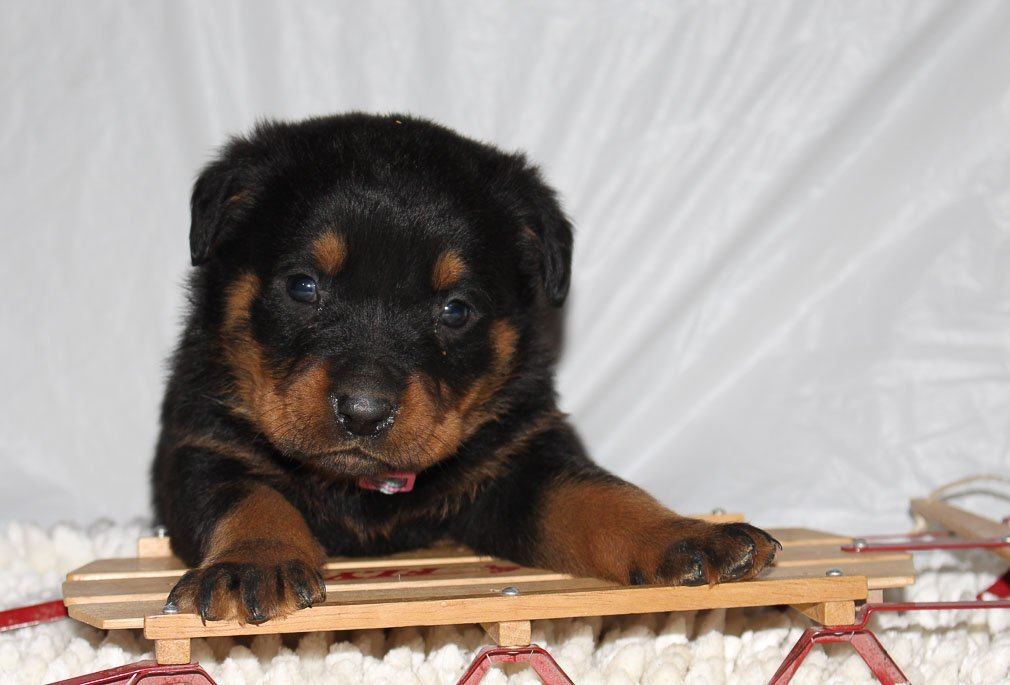 Caitlyn A Female Akc Rottweiler Puppy For Sale In Indiana Vip