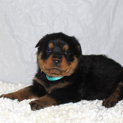 Chelsea - A Female AKC Rottweiler Puppy for Sale in Grabill, Indiana