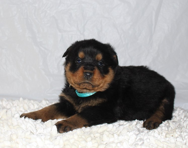 Chelsea A Female Akc Rottweiler Puppy For Sale In Grabill Indiana
