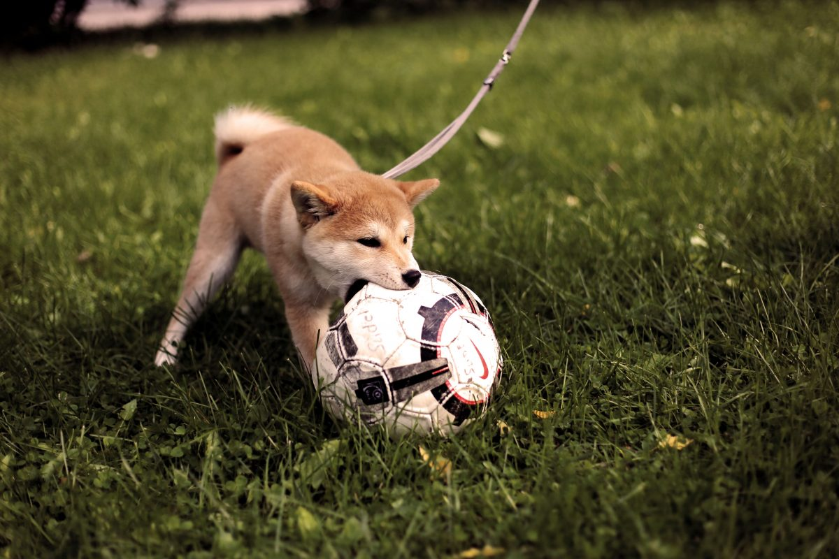 After mastering the basics of obedience training, puppies can begin to learn tricks and sports.