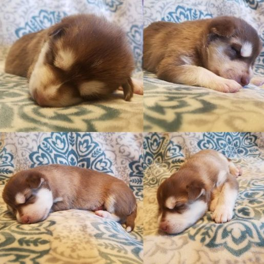 Tank - A Bouncy IPA Pomsky Puppy for Sale in Weir, Texas