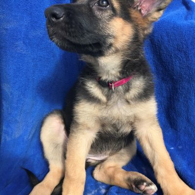 Eleanor - a dignified ACA German Shepherd puppy for sale in Florida