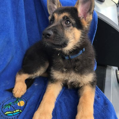 Duke - A male ACA German Shepherd puppy in Sunrise Florida