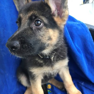 Moriah - A charismatic female ACA German Shepherd puppy in Sunrise, Fl
