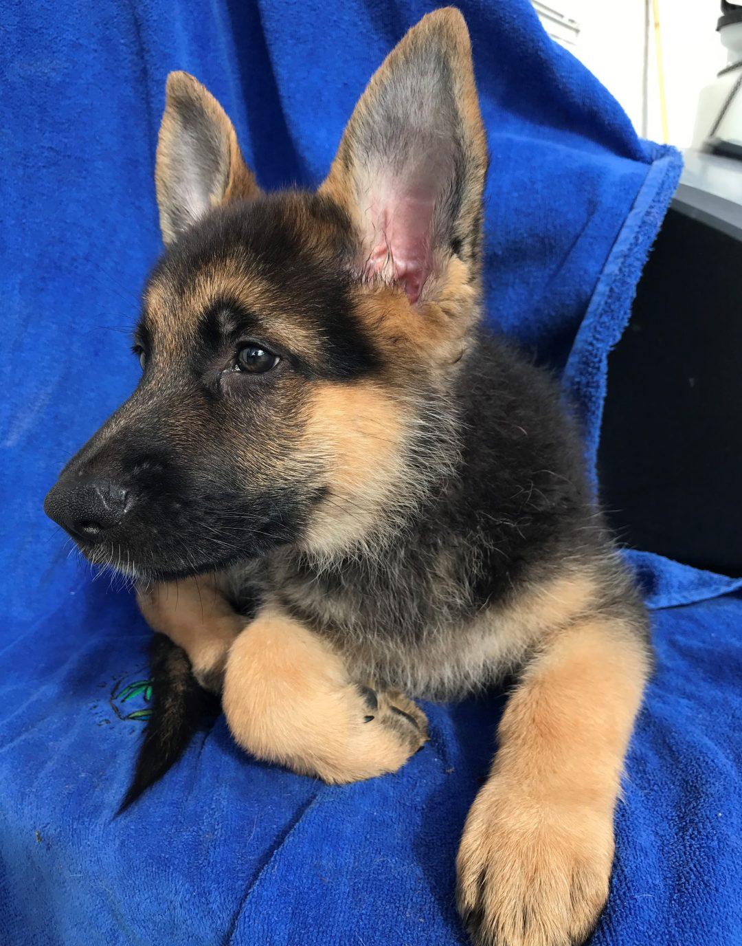 Tank - A fearless male ACA German Shepherd puppy in Florida