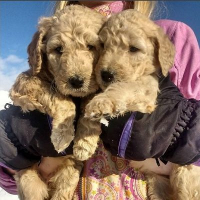 Lou - A female AKC Poodle puppy for sale in Middleton, ID