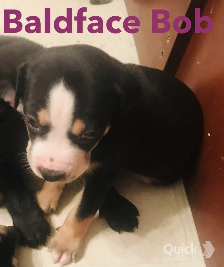 Baldface Bob - A NALC Louisiana Catahoula Leopard Puppy in Texas