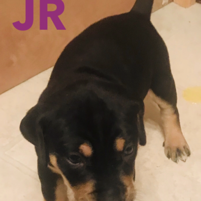 JR - a male NALC Louisiana Catahoula Leopard puppy for sale in Copperas Cove, TX