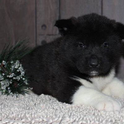 Ace - A Male AKC Puppy for sale in New Haven, IN