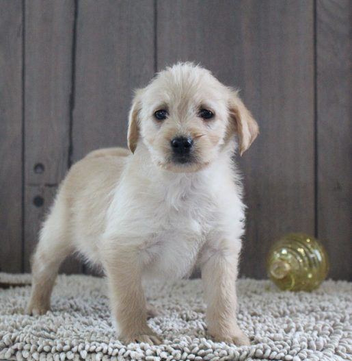 Lassie - A Female Labradoodle Puppy for Sale in Indiana