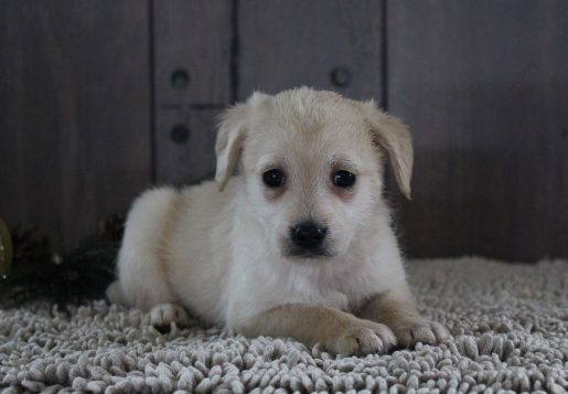 Lovely - A Charming Female Mini Labradoodle Puppy for Sale in New Haven,  IN