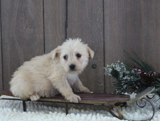 Laney - A Female Mini Labradoodle Puppy for Sale in Indiana