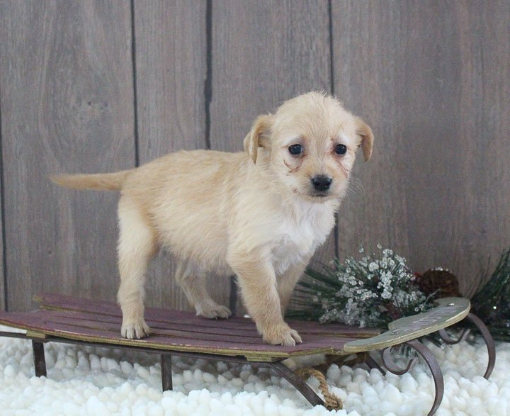 Lori - A Female Mini Labradoodle Puppy for sale in New Haven, Indiana
