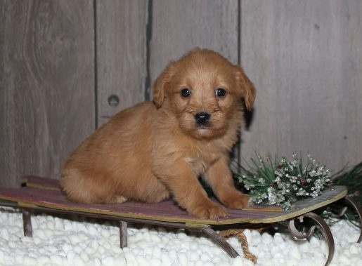 Lucy - A Female Mini Labradoodle Puppy for Sale from New Haven, Indiana