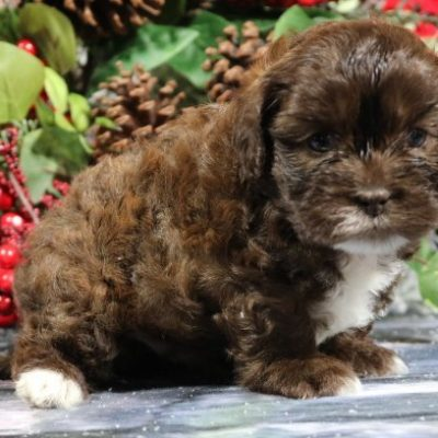 Bubba - A Male Shihpoo Puppy for Sale in Nappanee, IN