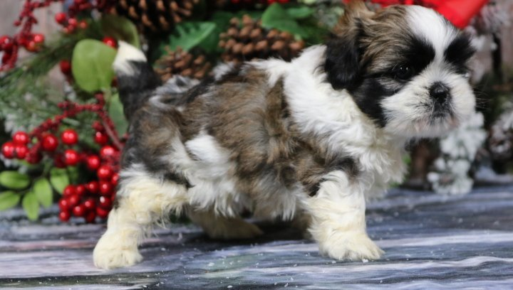 Aww Toby A Male Akc Shih Tzu Puppy For Sale In Nappanee Indiana