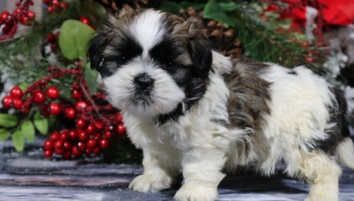 Toby - A Male AKC Shih Tzu Puppy for Sale in Nappanee, Indiana