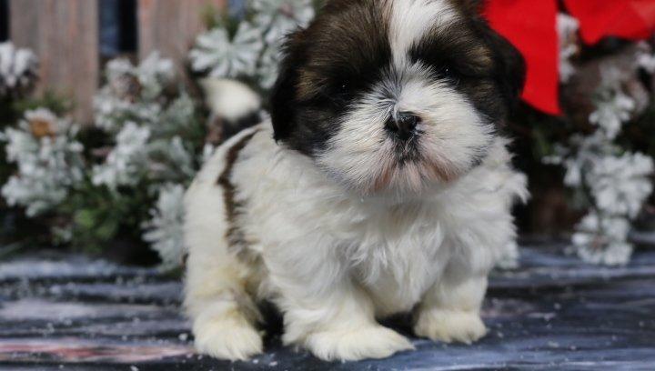 Niki - A Female AKC Shih Tzu Puppy for sale in Nappanee, IN