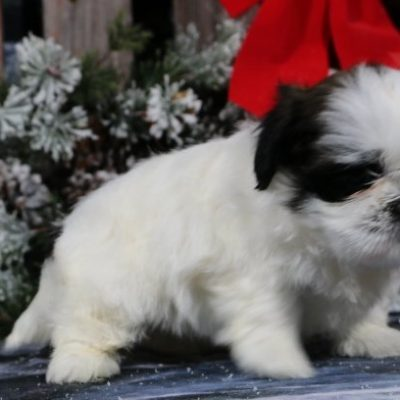 Devin - A Male AKC Shih Tzu Puppy for Sale in Nappanee, IN