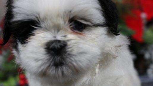 Devin - A Male AKC Shih Tzu Puppy for Sale in Nappanee, IN