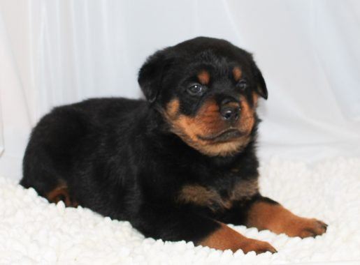 Thunder - A Black Male AKC Rottweiler Puppy for Sale in Indiana