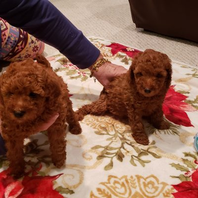 Hunter - a male miniature Poodle for sale located in Woodbridge, Virginia