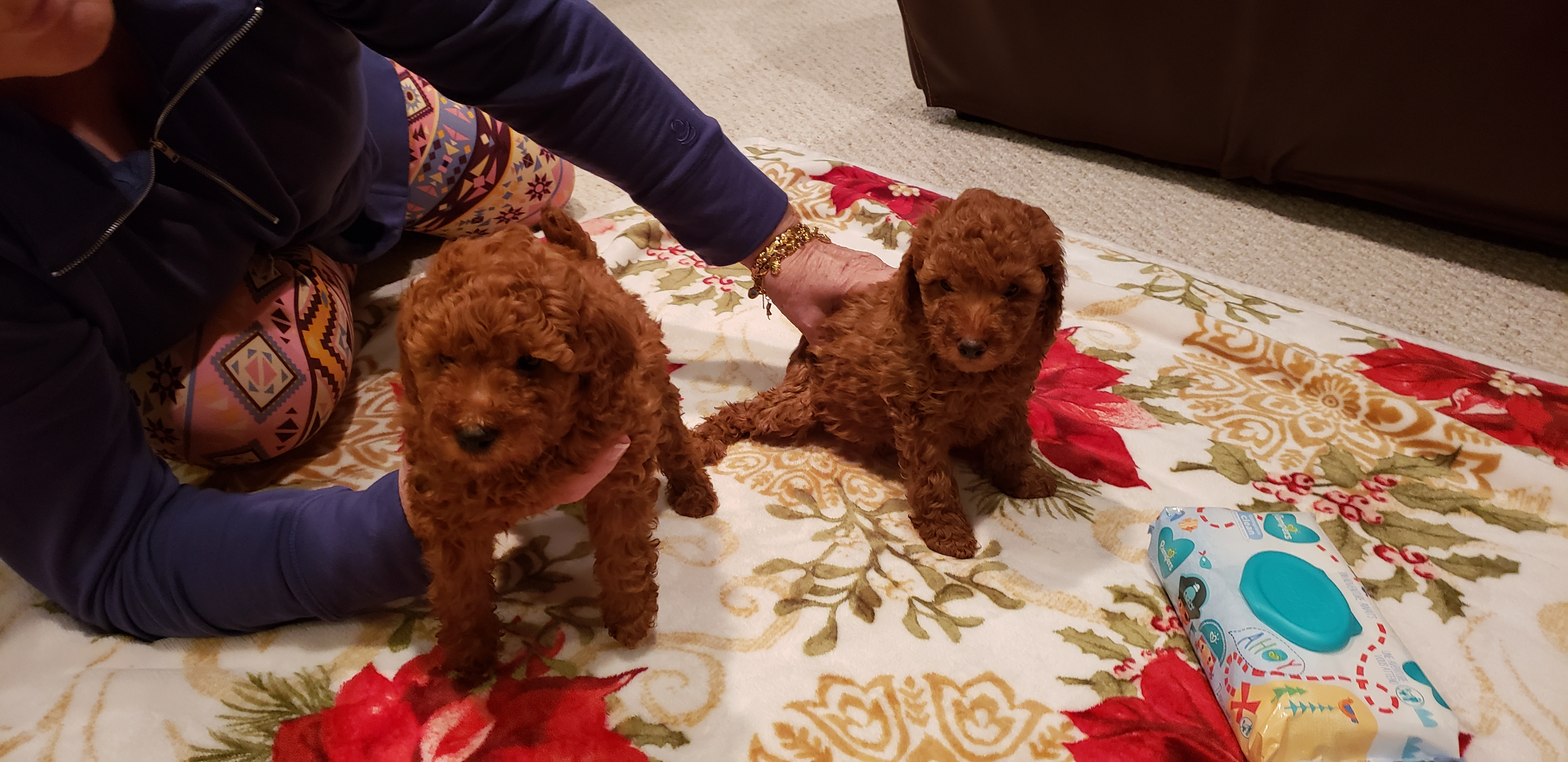 Hunter A Male Miniature Poodle For Sale Located In Woodbridge Virginia