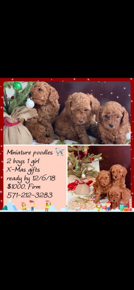 Ziggy - a cute male miniature Poodle puppy from Woodbridge, VA