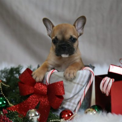 Shepherd - A Male French Bulldog Christmas Puppy