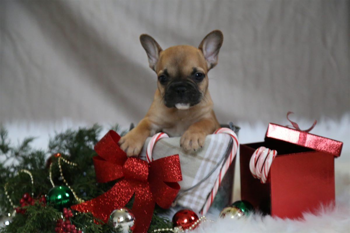Shepherd - A Male French Bulldog Christmas Puppy