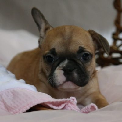 Yule - A Female AKC French Bulldog Puppy in Ewing, IL