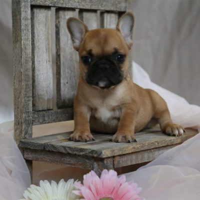 Angelica - A Female AKC French Bulldog Puppy for Sale in Ewing, IL