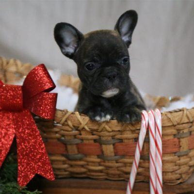 Carol - A Female French Bulldog Puppy for Sale