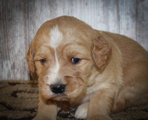 Bella - A Female Goldendoodle Puppy for sale in New Haven, Indiana