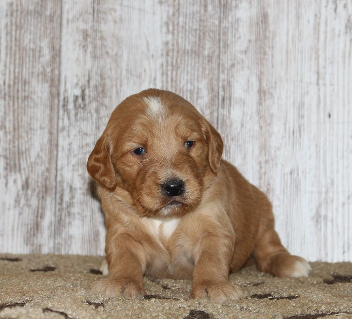Jaxon - A friendly male Goldendoodle puppy in New Haven, Indiana