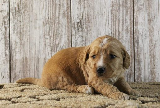 Lexi - A female Goldendoodle puppy in New Haven, IN
