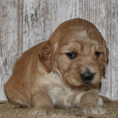 Roxy - A female Goldendoodle pupper from New Haven, Indiana