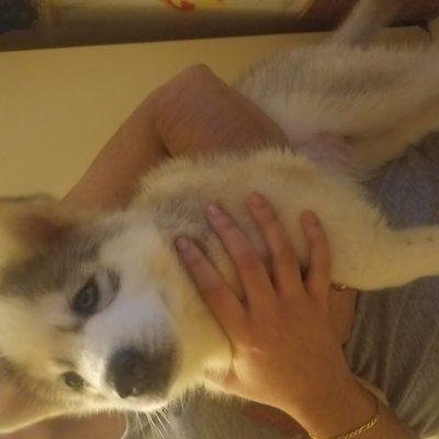 Luna - Siberian Husky