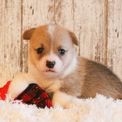 Bentley - A Male AKC Pembroke Welsh Corgi Puppy in Woodburn, Indiana