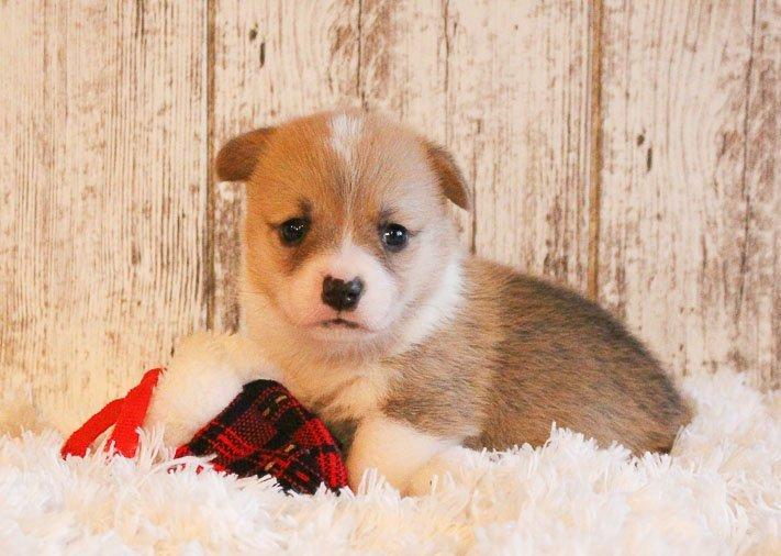 Bentley - A Male AKC Pembroke Welsh Corgi Puppy in Woodburn, Indiana