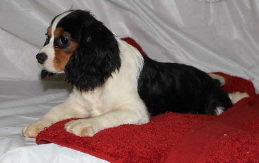 Conner - A Male AKC Cavalier King Charles Spaniel Puppy for Sale in Indiana