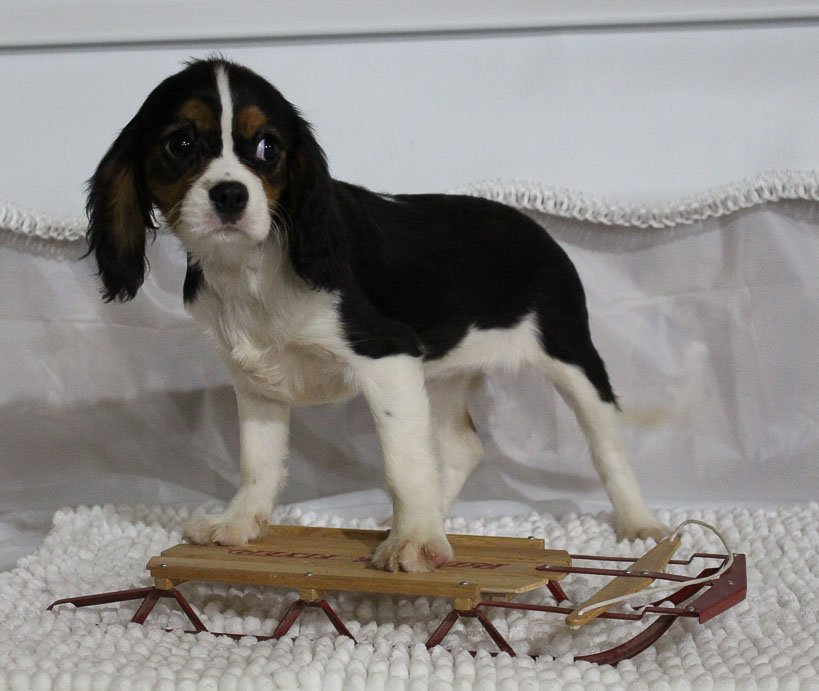 Courtney - A Female AKC Cavalier King Charles Spaniel Puppy for sale in Spencerville, IN